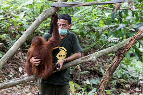 Arista holding a rescued orangutan