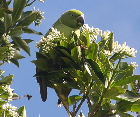 Female echo parakeet feeding on the leaves and flowers of the native plants in Mauritius.
