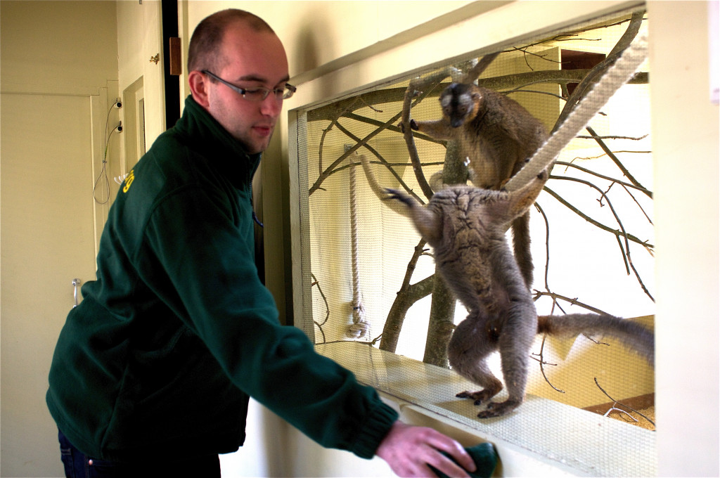 cleaning lemurs